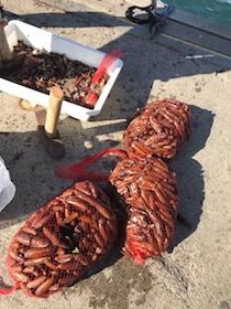 A Pompei sequestrati 60 kg di datteri pescati in costiera sorrentina – foto –