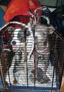 Maltrattamento di animali, denunciato uomo di Piano di Sorrento – foto –