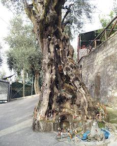 Il presepe nell'olivo di Massa Lubrense in un servizio di Rete 4