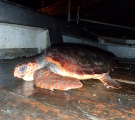 Due tartarughe salvate dal Centro Tartanet di Punta Campanella