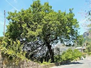 quercia-crollata-meta-77
