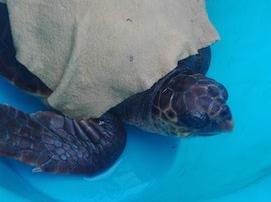 Tartaruga con un amo in gola salvata dalla Capitaneria