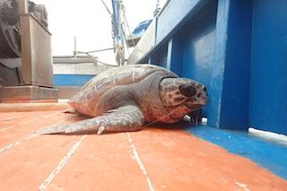 Lunedì il Parco di Punta Campanella rimette in mare 4 tartarughe
