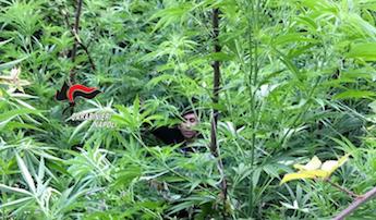 Mille piante di cannabis scoperte e distrutte sul Faito