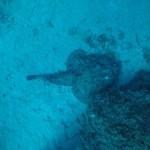 rana-pescatrice-gigante-punta-campanella-3