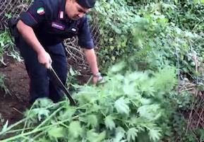 """Operazione """"Tabula Rasa"""", più di 5mila piante di cannabis distrutte sui Monti Lattari"""