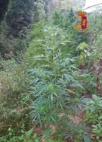 marijuana-massa-lubrense-8918