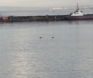 Famiglia di delfini nel porto di Castellammare di Stabia – foto –