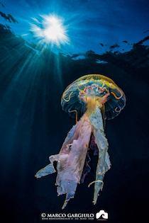 Medusa avvolta nella plastica, la foto di Marco Gargiulo diventata virale