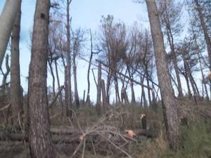Piantati 700 alberi alla pineta Le Tore di Sorrento