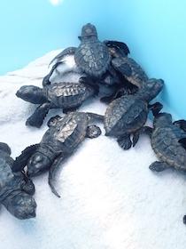 Liberate in mare le tartarughe nate sulla spiaggia di Meta – foto –