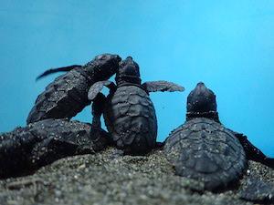 Tornano in mare le tartarughe salvate sulla spiaggia di Meta
