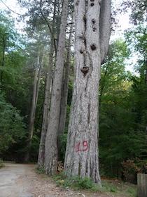 taglio-alberi-faito-66