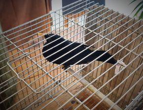Merli in gabbia in un ristorante di Sant'Agata sui due Golfi, sequestrati