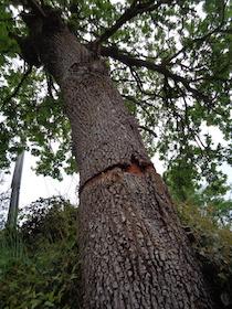 Il Wwf: A Sant'Agnello sversamenti di rifiuti e amianto e danneggiamento di una quercia