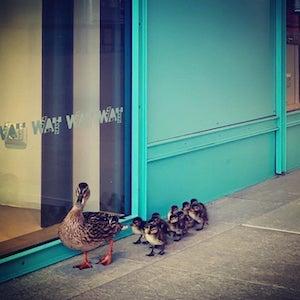 Il Wwf: Uomini rinchiusi in casa, gli animali selvatici arrivano in città