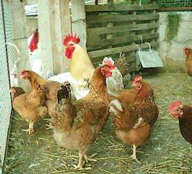 Covid-19. Coldiretti: Tornano i ladri di polli