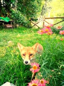 volpe-giardino