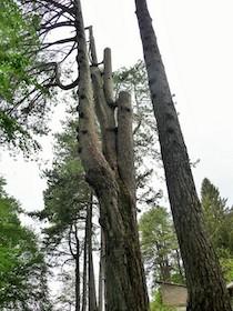 Denuncia Wwf: Scempiato un plurisecolare pino nero del Faito