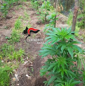 Circa 750 piante di cannabis trovate e distrutte sui Lattari