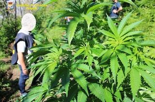 Scoperte 102 piante di cannabis sui Lattari, tutte distrutte – video –