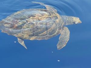 Una tartaruga che prende il sole ed un branco di delfini avvistati nel mare di Punta Campanella – video –