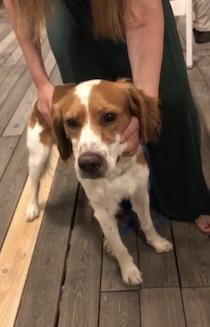 Ritrovato un cane a Sorrento, si cerca il proprietario