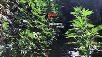 Una piantagione di cannabis individuata e distrutta sui Lattari