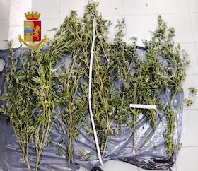 Coltivava marijuana in casa, denunciato dalla polizia di Sorrento – foto –