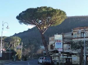 Eliminato il pino dei Colli di Fontanelle a Sant'Agnello, esposto Wwf