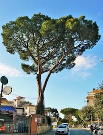 Sant'Agnello. Tagliato di notte il pino di piazza della Repubblica, insorge il Wwf