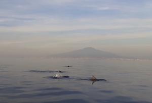 Delfini con lo sfondo del Vesuvio, spettacolo nel golfo di Sorrento – video –