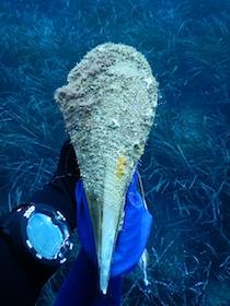 Nel Parco di Punta Campanella morte tutte le Nacchere di mare