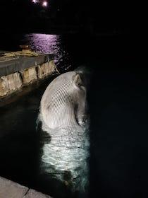 È ufficiale, erano due le balene nel porto di Sorrento