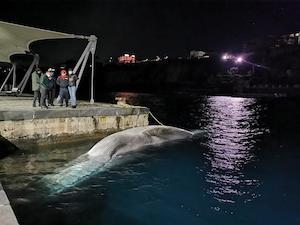 Riaffiora la balena morta a Sorrento, problema smaltimento – foto –