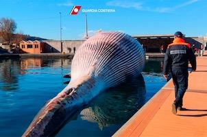 La balena di Sorrento uccisa da un virus. La teoria dei due esemplari