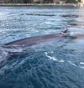 Ritrovata morta la balena spiaggiata a Sorrento – video –
