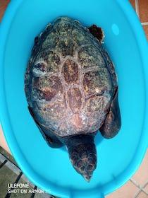 Due tartarughe intrappolate nelle reti dei pescatori affidate al Parco di Punta Campanella