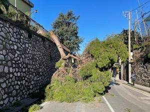 Grosso albero cade lungo la strada a Piano di Sorrento