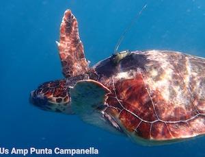 Tartaruga liberata in costiera dopo 18 giorni è già in Sicilia