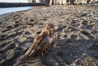 Torna a volare la poiana ferita e finita in mare a Piano di Sorrento