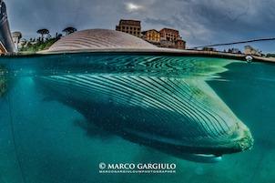 Cetacei nel mare di Sorrento, ne parla il Wwf a Villa Fiorentino