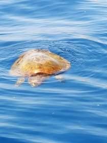 Tartarughe a rischio, appello dell'Amp Punta Campanella