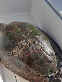 Tartaruga ferita in modo grave recuperata dallo staff Amp Punta Campanella