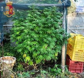 Pianta di marijuana in casa a Massa Lubrense, denunciato 22enne – foto –