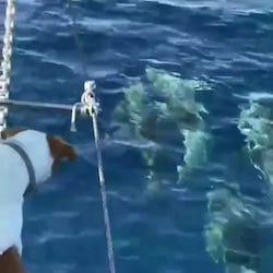 Con l'Amp Punta Campanella il cane che percepisce i delfini
